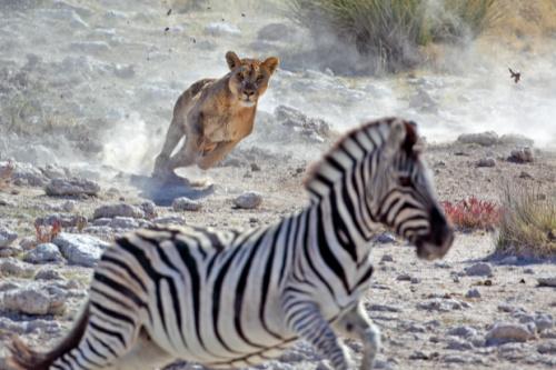 hvad gør man ved stress? nervesystem løve zebra kamp flugt